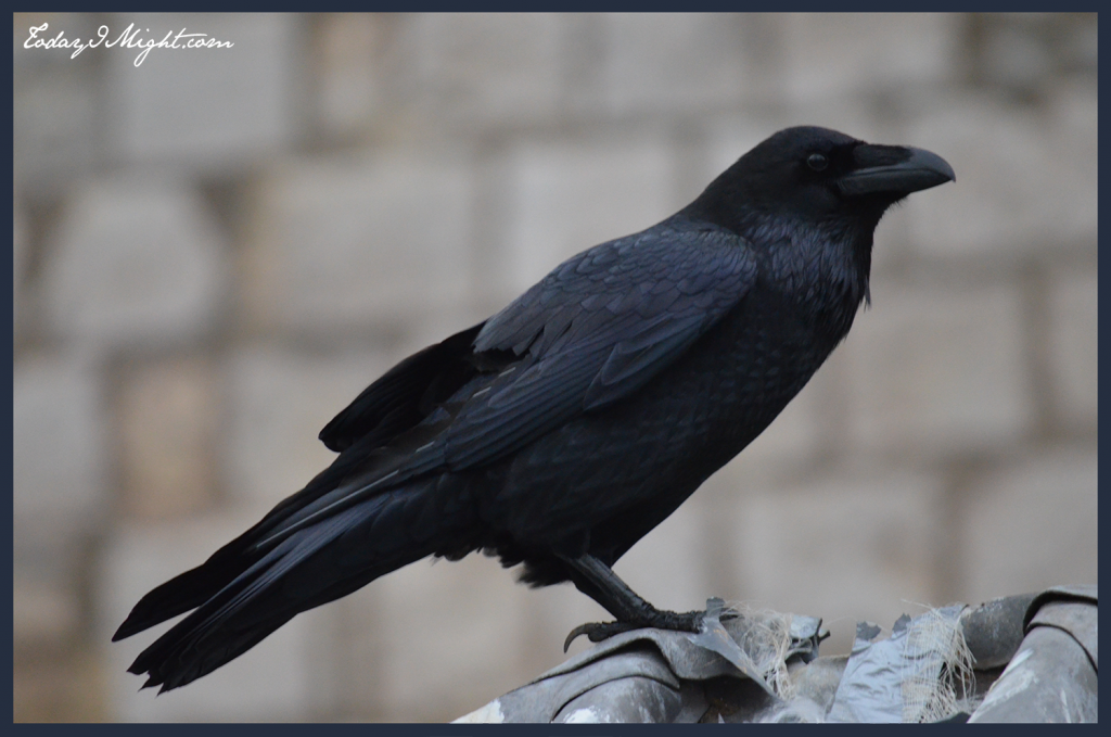 todayimight.com | London | Tower of London | Raven