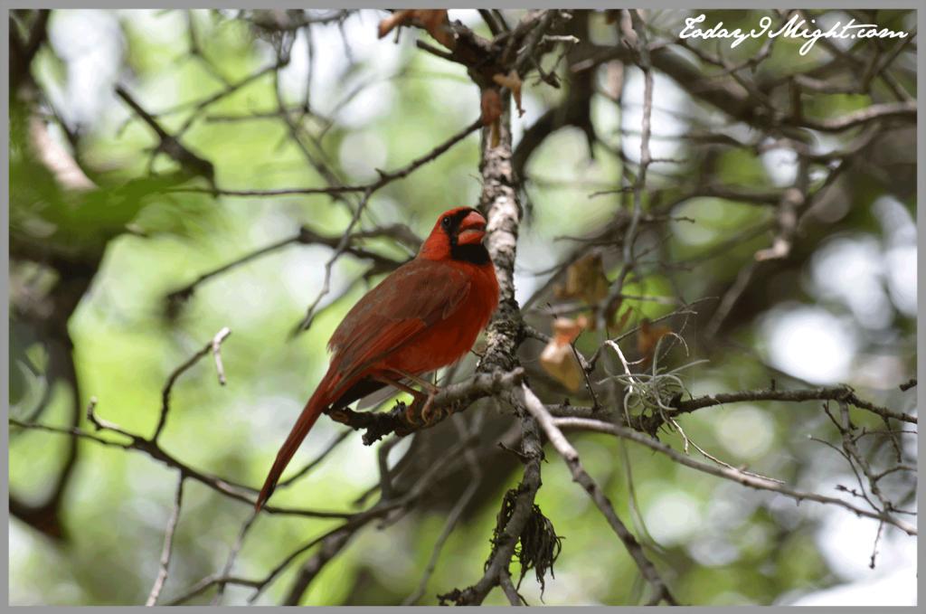 todayimight.com | Zilker Botanical Garden | Cardinal