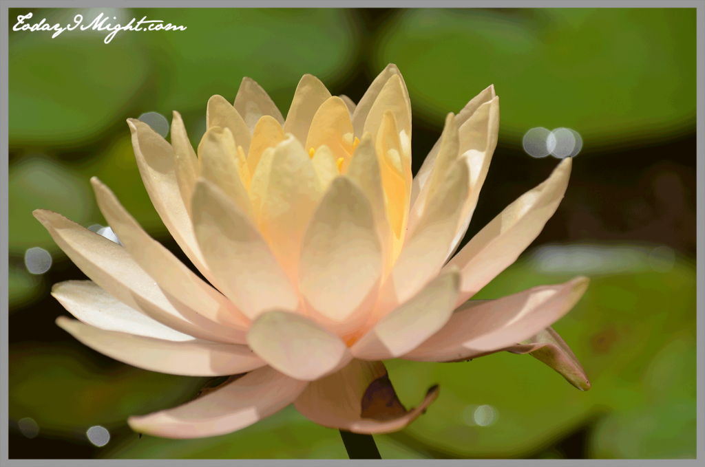 todayimight.com | Zilker Botanical Garden | Peach Lily