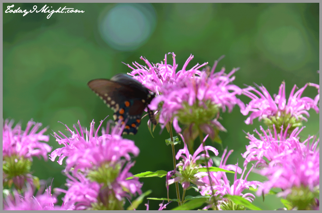 todayimight.com | Zilker Botanical Gardens | Pipeline Swallowtail