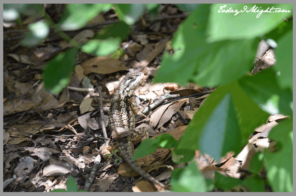 todayimight.com | Zilker Botanical Garden | Texas Spiny Lizard