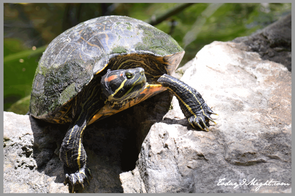 todayimight.com | Zilker Botanical Garden | Turtle