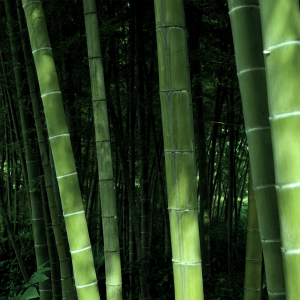 todayimight.com | Sagano Bamboo Forest