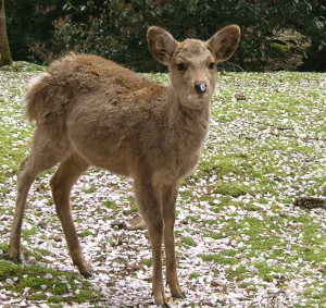 todayimight.com | Nara Park - Sika Deer